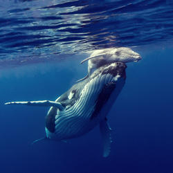 A mother humpback whale and her calf