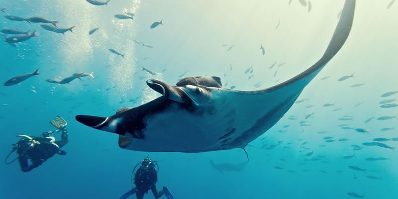 A large manta ray being viewed by divers at Kokomo Private Island Fiji
