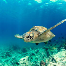 A turtle swimming above a reef