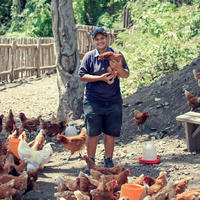 Free-range chickens at the farm at Kokomo Private Island Fiji