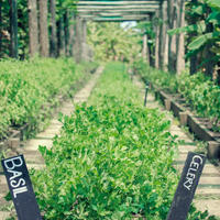 Fresh herbs being grown at the farm at Kokomo Private Island Fiji