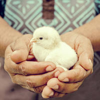 The resident farmer holding baby chicken at the farm at Kokomo Private Island Fiji