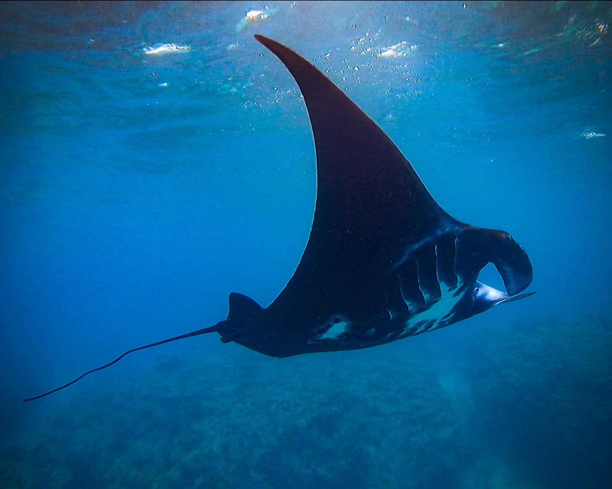 Photo of Manta Ray at Kokomo Private Islandf Fiji